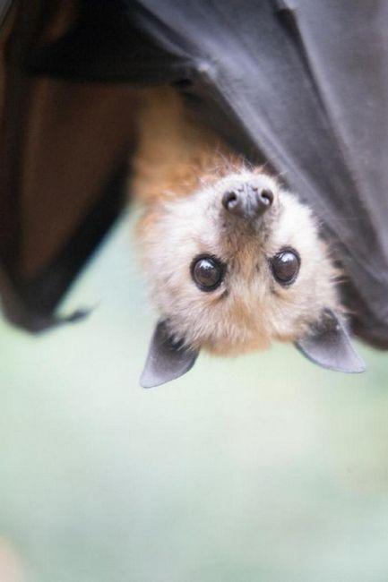18 Снимки, потвърждаващи, че прилепите са очарователни същества