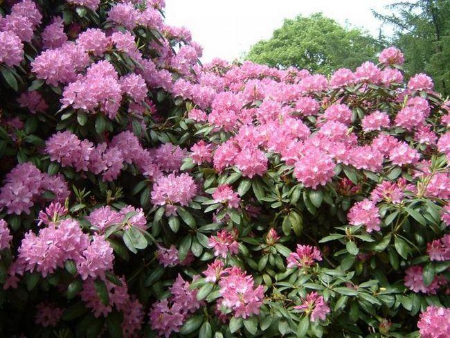 Бъдете внимателни: 12 смъртоносни градински растения