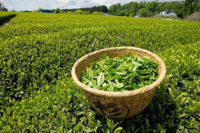 зеленият чай е добър и вредни за жената