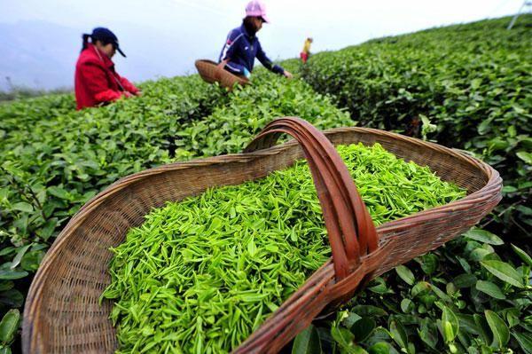 зелен чай ползи състав на противопоказания и вреда