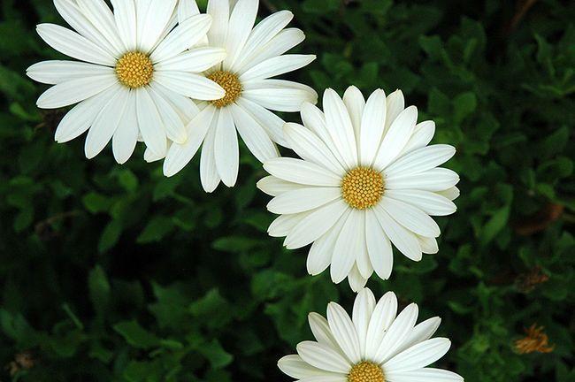 Osteospermum: расте от семената у дома