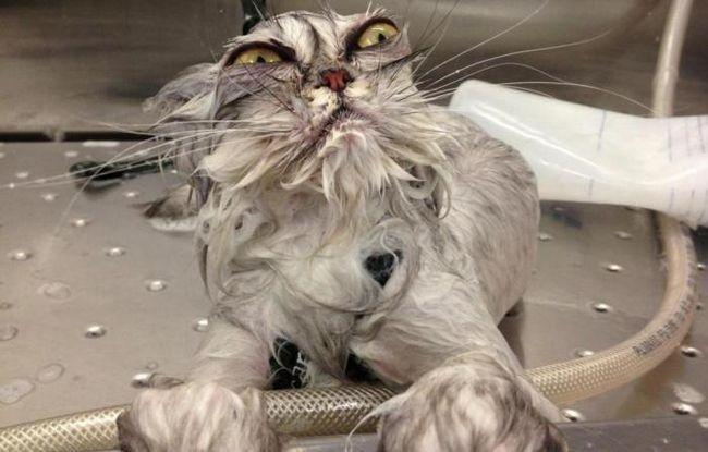 Защо котките мразят да плуват?