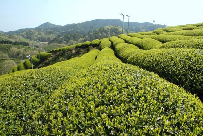зелен чай от сенча
