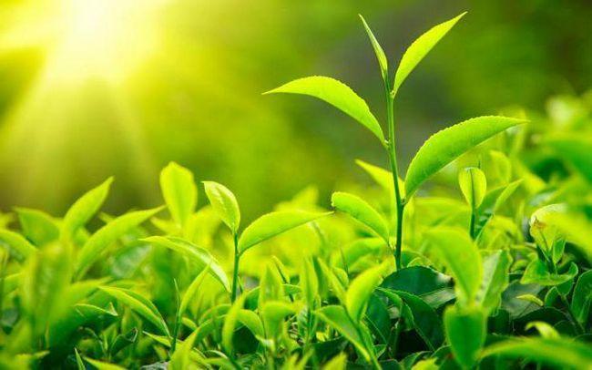 зелен чай състав