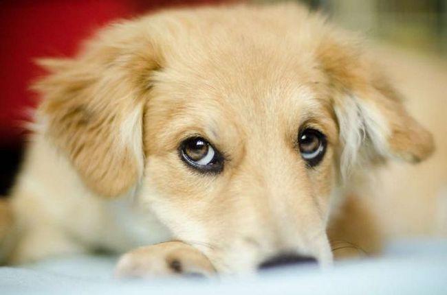 Учените са доказали, че кучетата могат да ви манипулират умишлено