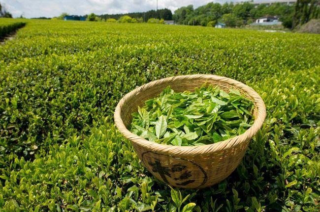 зелен чай плантация